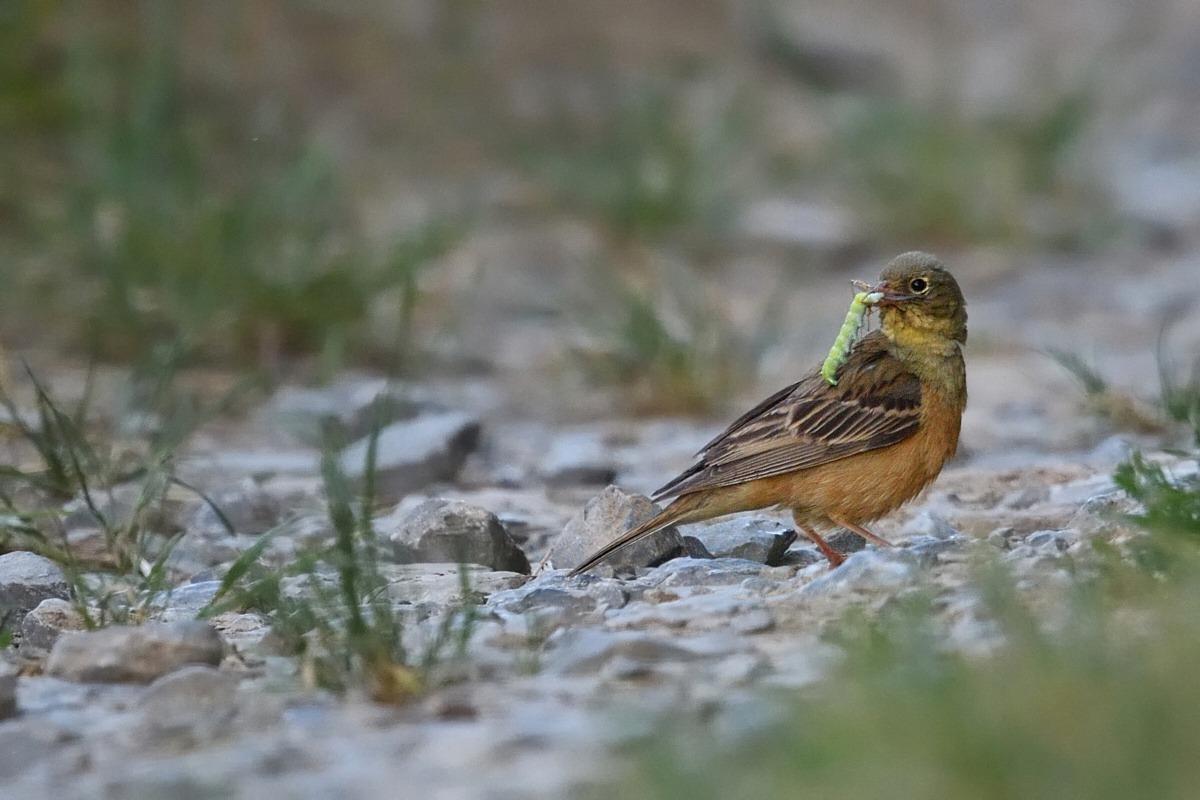 Der Vogel Ortolan nach erfolgreicher Jagd im historischen Steinbruch Lindelbach